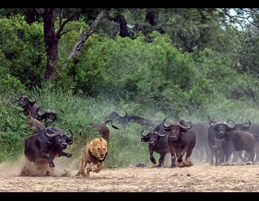 cn_buffalo_chase_lion_ss_jt_130503_ssh