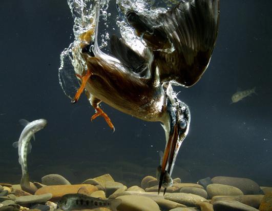sn_fishing_kingfisher003_ss_jt_130519_ssh
